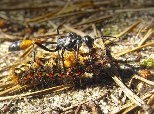 Осы-наездники откладывают яйца в тела гусениц. Фото с сайта nat-geo.ru