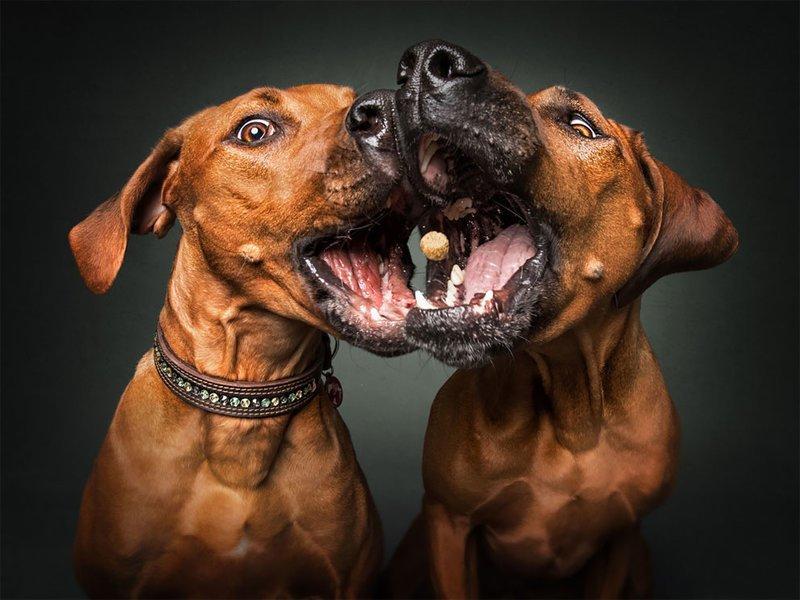 Забавные эмоции собак, которые ловят лакомства