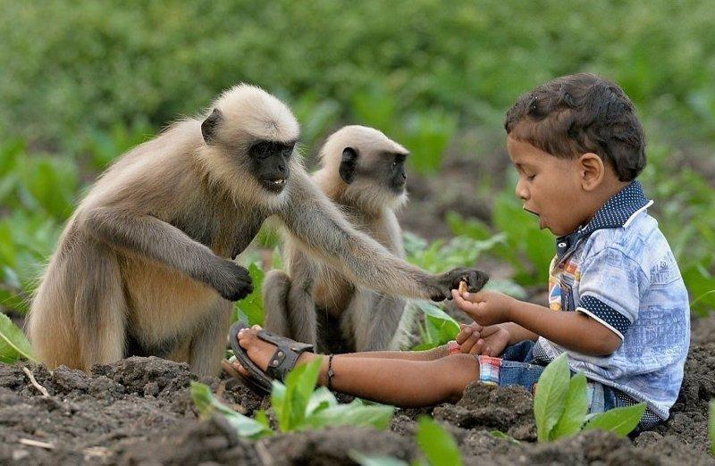 Современный Маугли: в Индии двухлетний мальчик подружился со стаей обезьян