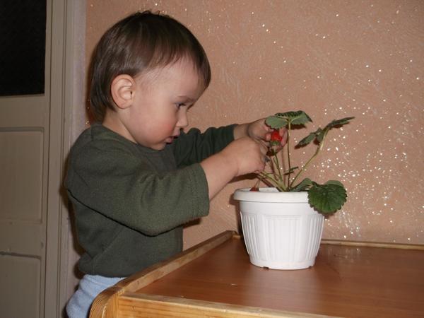 Опыт выращивания садовой земляники зимой на подоконнике