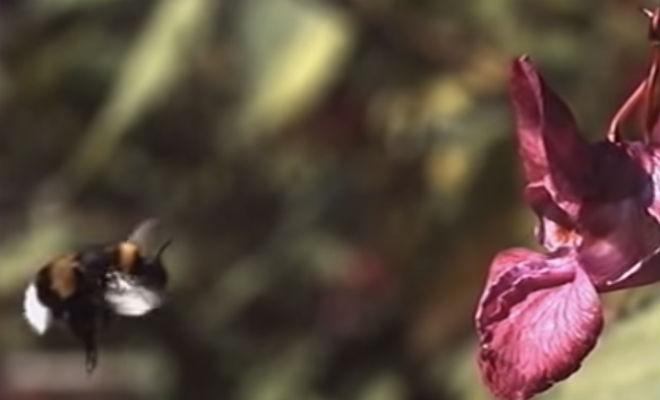 Тайная жизнь с виду обычных шмелей насекомые,наука,нектар,оса,Природа,Пространство,птица,Шмель