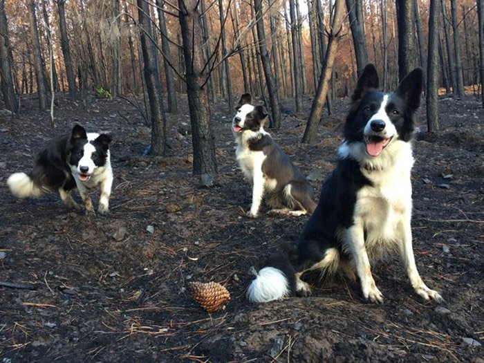 Три героические бордер-колли: 6-летняя Дас и две ее дочери Оливия и Саммер животные, лес, помощь, посадка, собака, собаки, спасение, чили