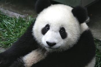 В Китае родились два детеныша большой панды