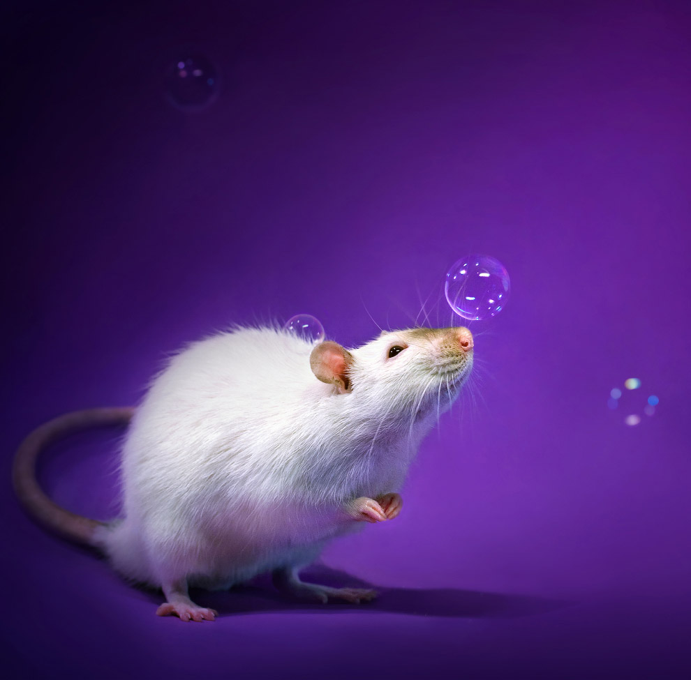 Фотопортреты очаровательных крыс