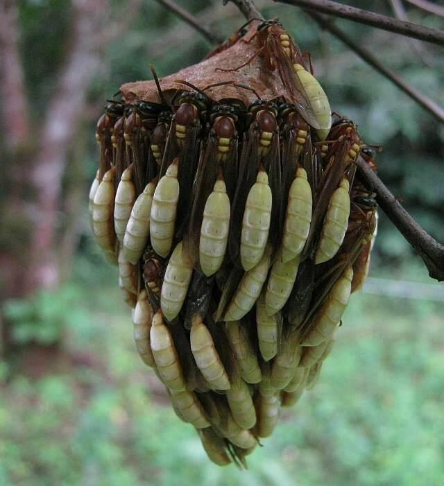 Осиное гнездо и защита потомства телами взрослых особей животные, занимательно, интересно, необычно, природа, ракурс, факты
