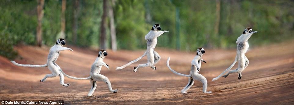 Как танцуют лемуры