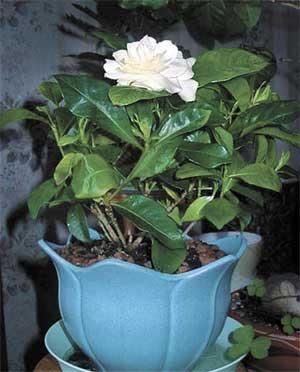 Гардения Gardenia.