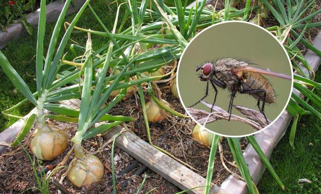Луковая муха – как распознать на растениях и эффективно с ней бороться