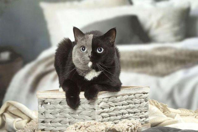 Двуликий кот Нарния – чудо к…
