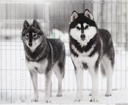 От таких снимков хаски, каждый заведет себе собаку