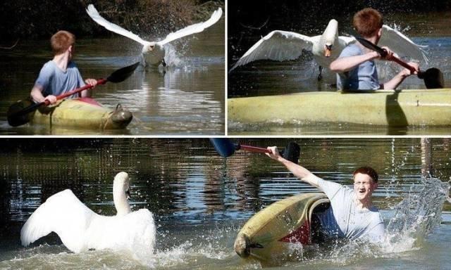 Лебедь-маньяк животные, люди, неудача, плохой день, прикол, фейл, юмор