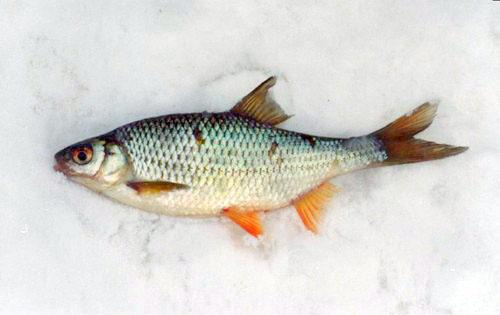 Особенности ловли плотвы зимой