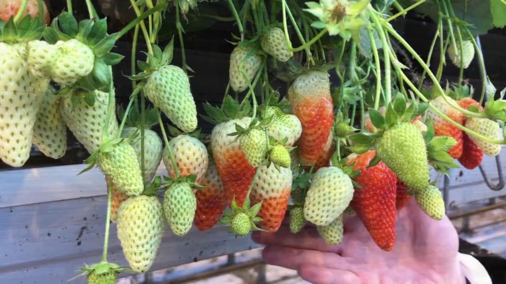 Сколько клубники можно собрать с 1 сотки? Технология выращивания клубники в теплице и в открытом грунте