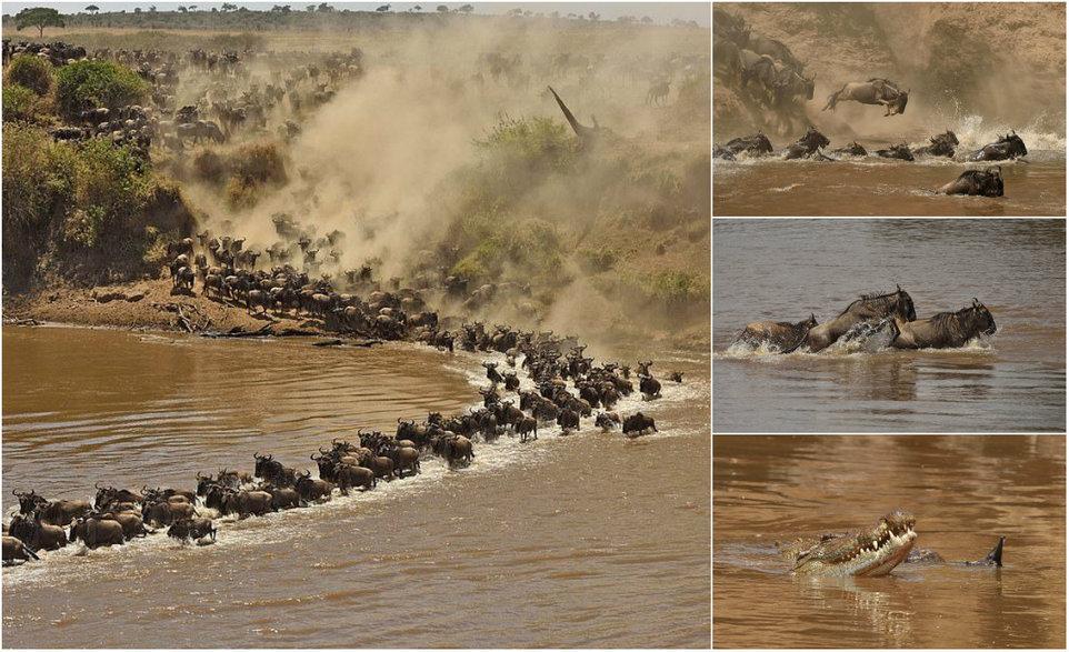 Тонкая грань между жизнью и смертью: переправа гну через реку в Африке