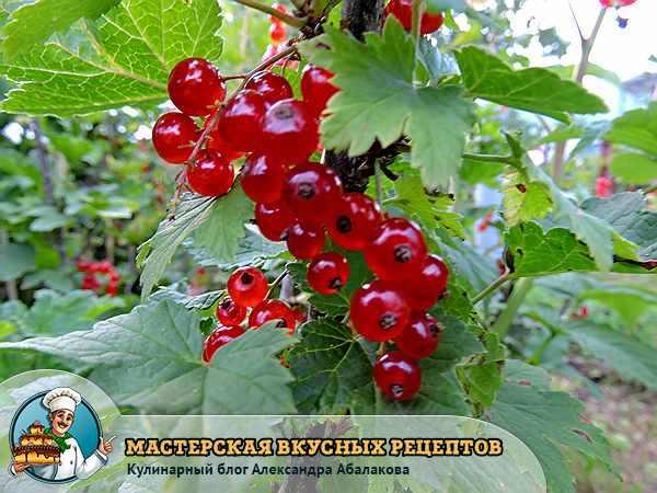 О красной смородине просто и ясно — полезные свойства и чем же опасна