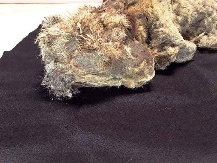 Замёрзший котёнок неплохо сохранился, выглядя внешне как и 50 тысяч лет назад. животные, лев, львенок, новости, раскопки