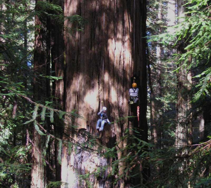 Высочайшие деревья мира
