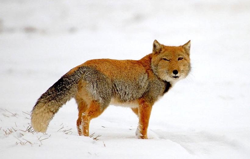 Тибетская лисица: удивительный зверь с обликом волка и взглядом человека