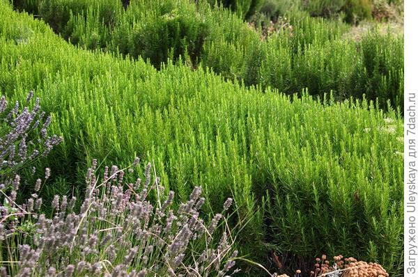 Бордюры из пряных трав - полезная красота