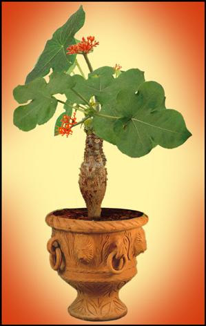 Ятрофа – тонкости выращивания и разведения