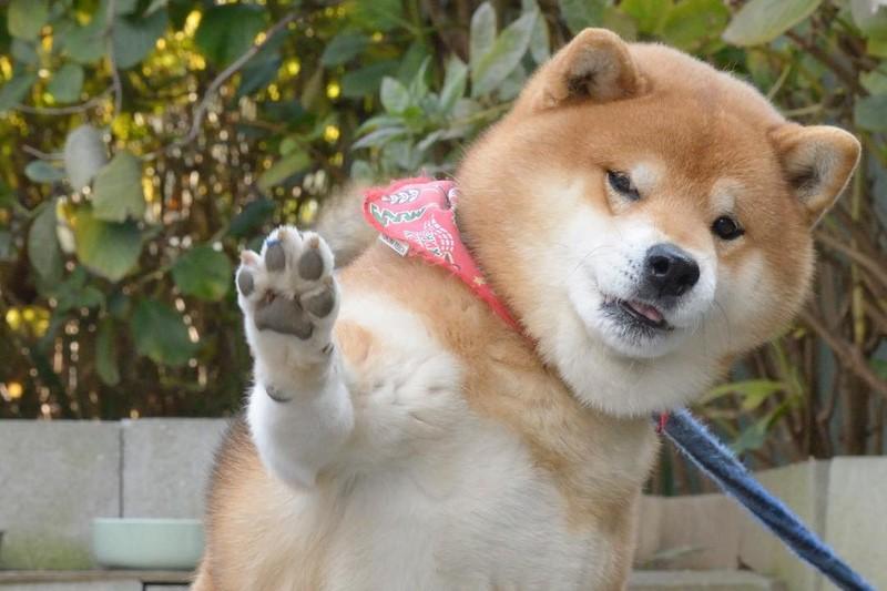 Cнимки, которые доказывают, что сиба-ину — милейшие собаки на всём белом свете