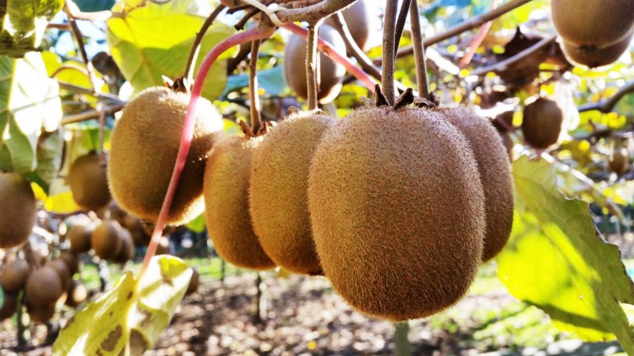 Открываем секрет: как вырастить киви на своем огороде