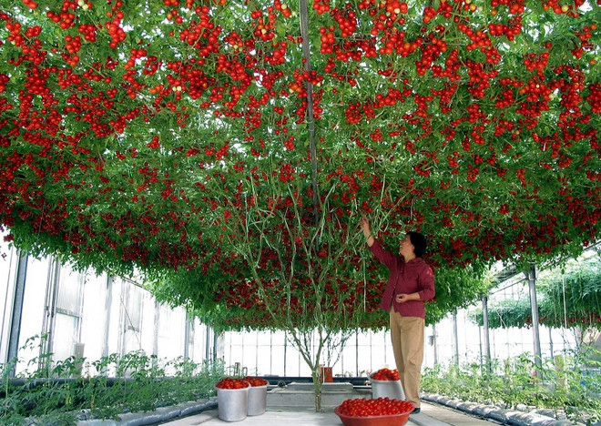 Томат-дерево Спрут F1: Необы…