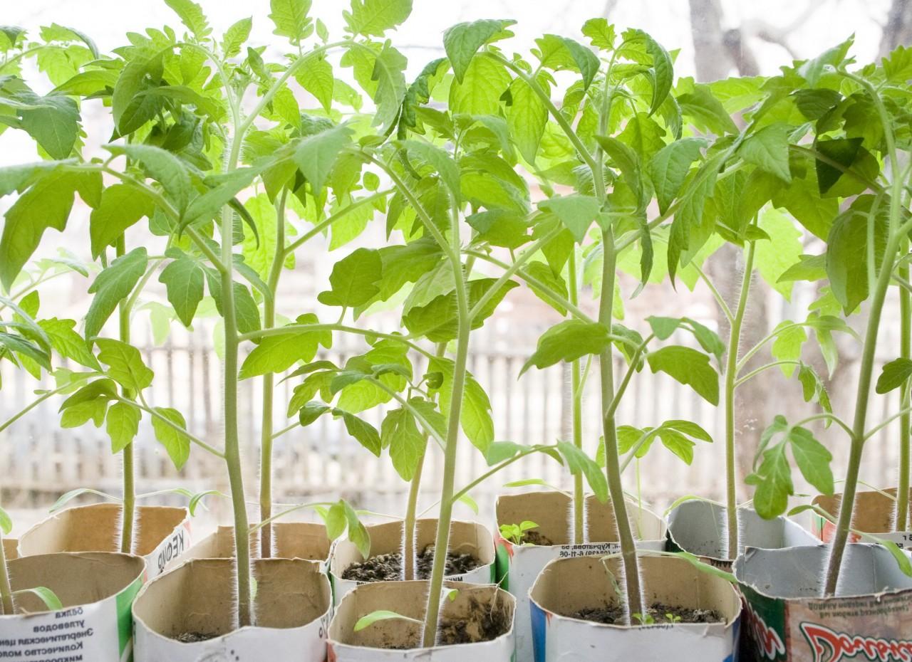 Четыре причины медленного роста рассады