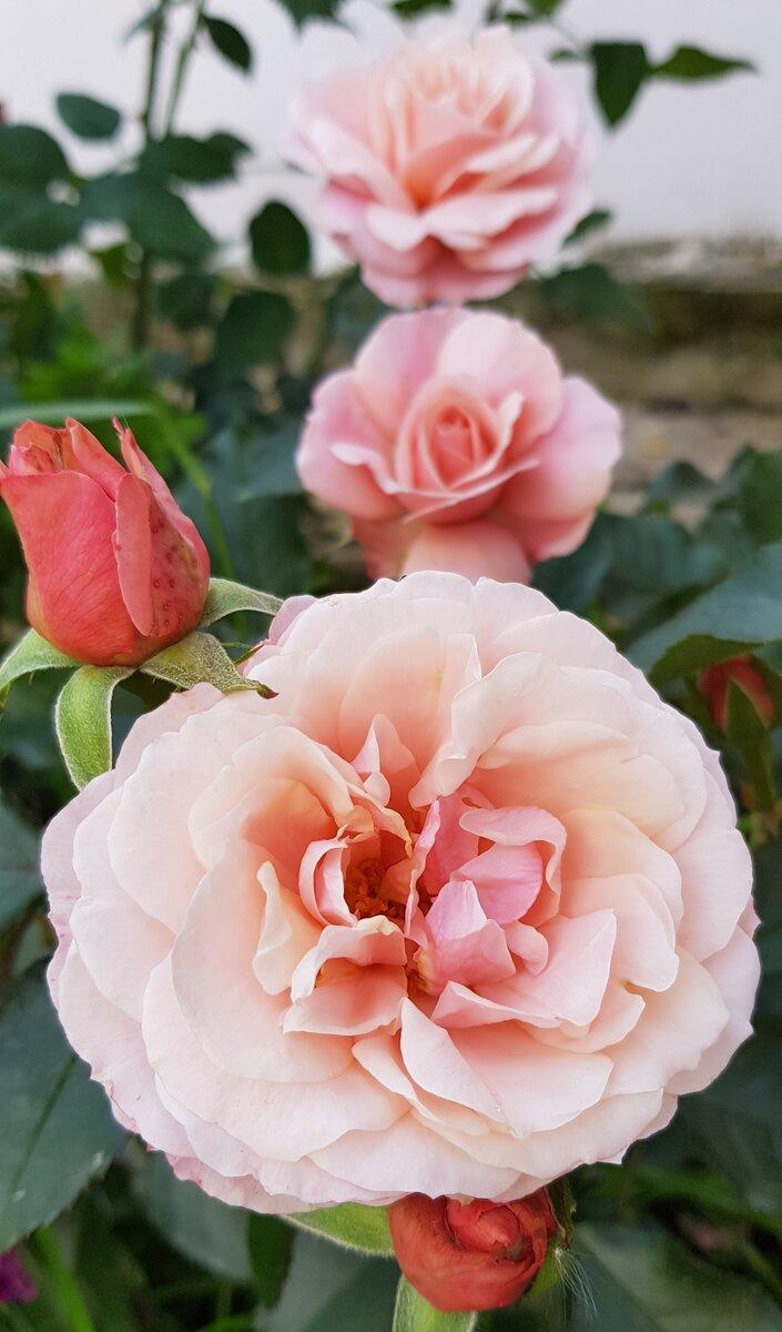 """Роза """"Ботичелли"""""""