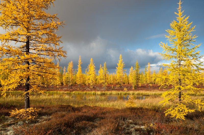 Интересные факты о хвойных деревьях