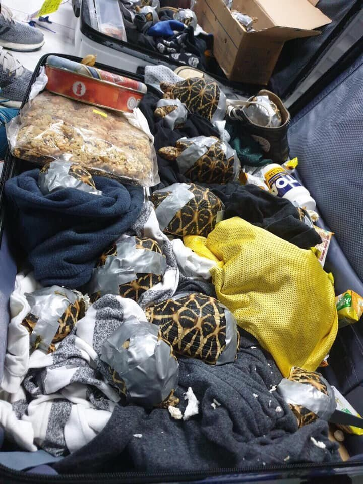 Брошенная контрабанда: в филиппинском аэропорту нашли более 1500 черепах, замотанных клейкой лентой в мире, животные, люди, таможня, черепаха