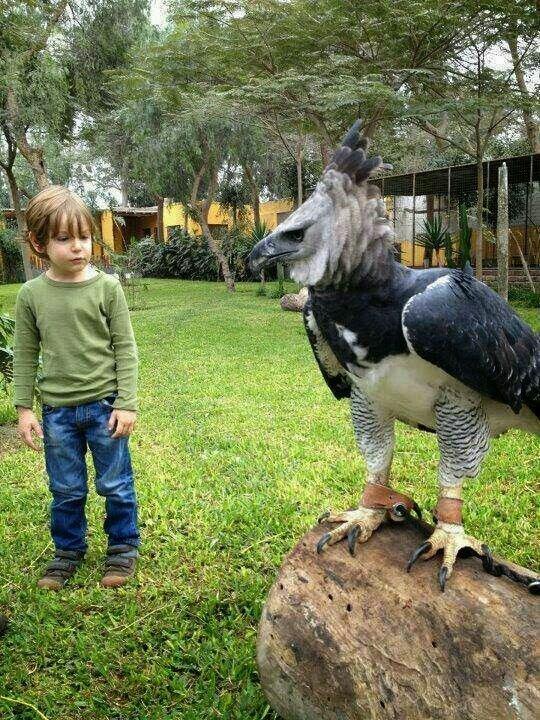 Еще одна из крупнейших хищных птиц - гарпия животные, занимательно, интересно, необычно, природа, ракурс, факты