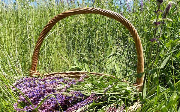Как заготовить траву шалфея