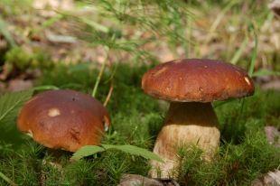 Чем опасны грибы, собранные вдоль дорог?