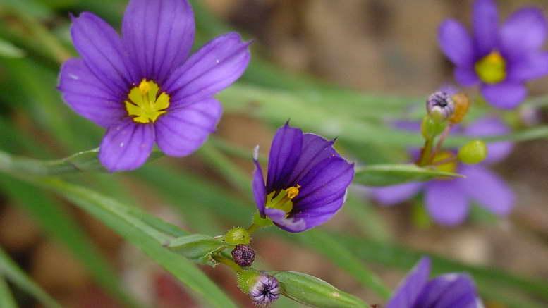 МИР РАСТЕНИЙ. Цветок голубоглазка или сисюринхий