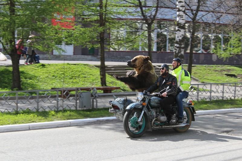 По улицам Сыктывкара в коляске мотоцикла разъезжал медведь