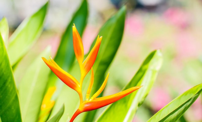 Канны цветы хранение зимой дома. Когда выкапывать канны осенью и как хранить