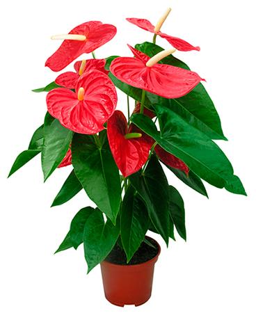Красный антуриум в горшке – цветок символизирующий любовь на День Святого Валентина