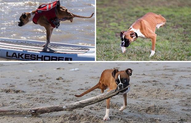 Пёс без задних лап не собирается проигрывать смерти