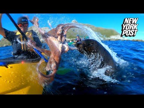 Морской котик швырнул в человека осьминога