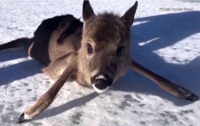 Подтаявший лёд порой становится непреодолимым препятствием для вот таких малышей!