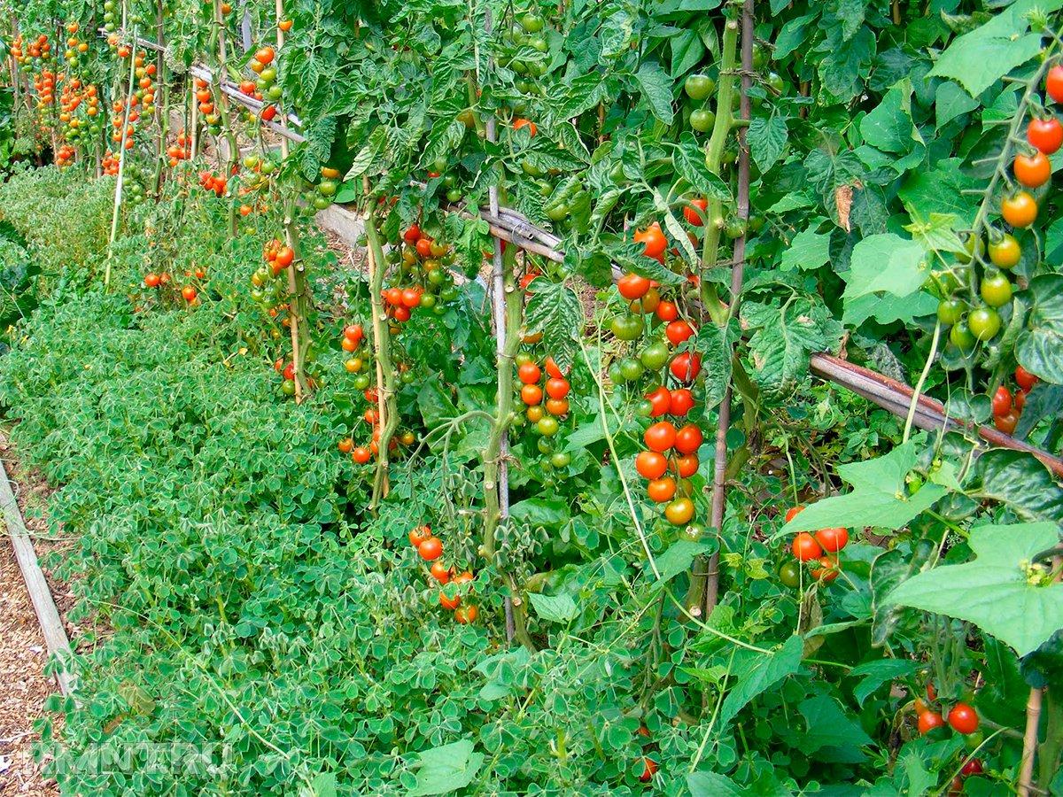 помидоры и огурцы на грядке фото