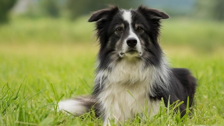 Ученые Будапештского университета назвали собак породы бордер колли самыми умными Общество