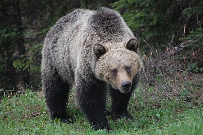 Медведь-убийца напал на 11-летнего мальчика, смотрите сами что было дальше!