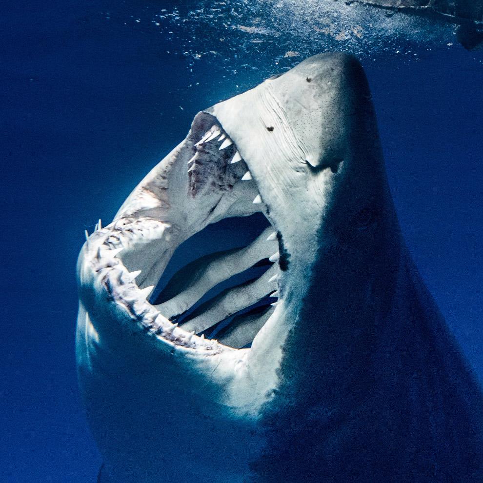 Картинки самых опасных акул в мире