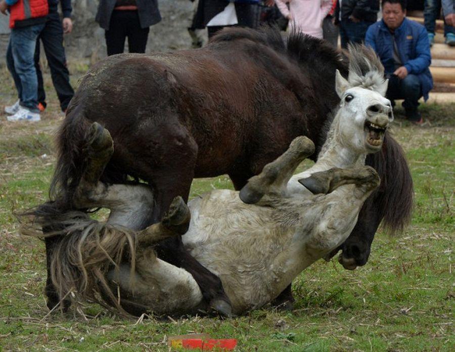 Запрещенная жестокая забава - лошадиные бои