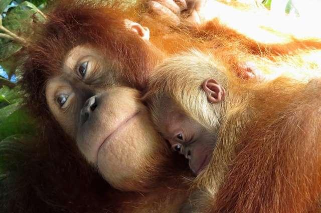 Счастье быть мамой! Орангутанг нежно обнимает своего детёныша