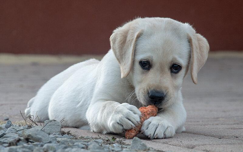 Давно известно, что сырая морковка- отличное средство для массажа десен щенка в период смены зубов. Фото Krystian Graba/Pixabay