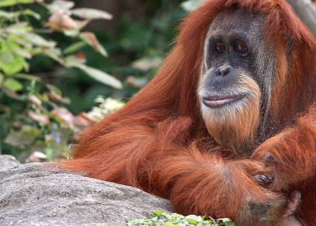 За 16 лет остров Борнео потерял почти 150 тысяч орангутанов