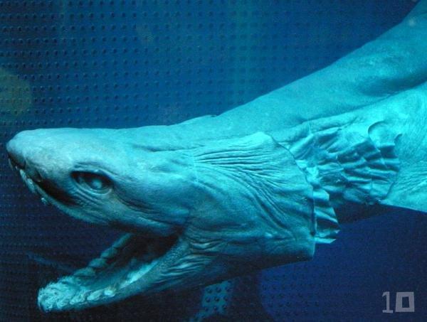 Плащеносная акула - живое ископаемое (5 фото + видео)